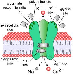 receptor NMDA