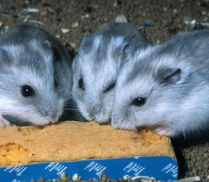 hamsters-405x355