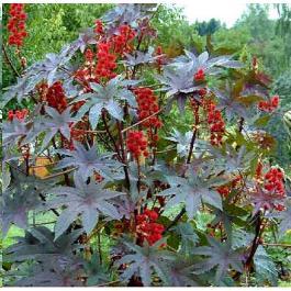 Graines_Ricinus_Communis_Seeds_Castor_Bean_Plant_Ricin_Commun