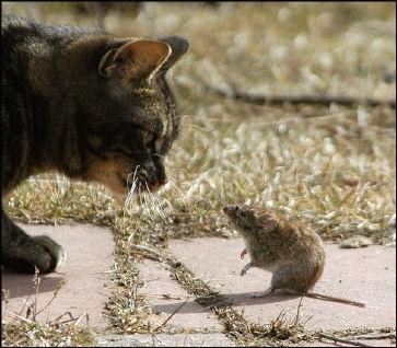 parásito que infecta a las ratas para infectar a los gatos