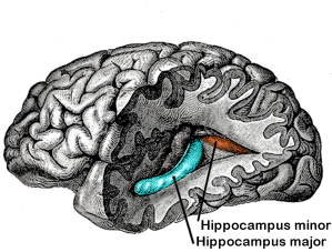 Gray739-emphasizing-hippocampus-minor