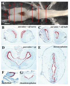 Axolotl_brain_ventricular_zone_proliferative_activity