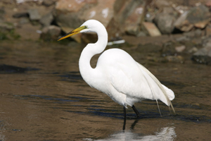 great-egret-red