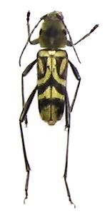 xylotrechusquadripes