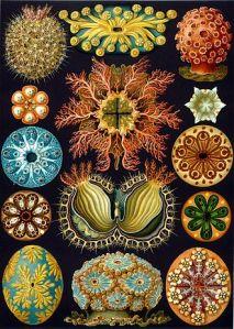 330px-Haeckel_Ascidiae