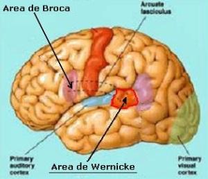 Area_de_Wernicke