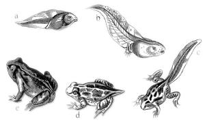 frog_metamorphosis