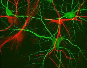 Glial-Cells-Neurons