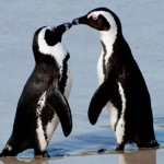 african-penguin-couple-red
