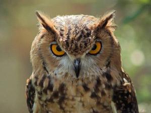 animals-beautiful-extraordmad-owl-red