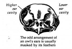 Barn-owl-ears-300x206