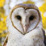 barn_owl-red