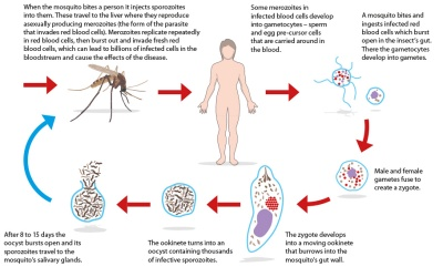 malaria-life-cycle-diagram