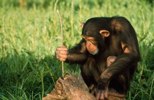 chimps-trade-tools-to-help-pals-130320-660x433