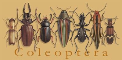 Coleoptera_design