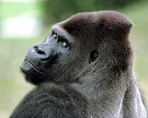 gorilla-face-red