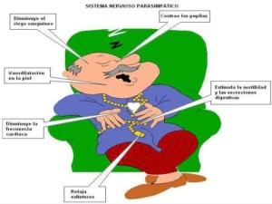 sistema-nervioso-autnomo-por-katherine-guaita-49-638