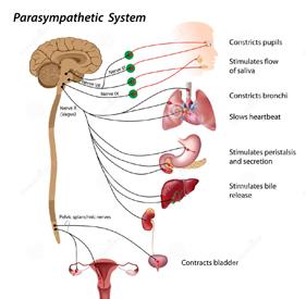 sistema-parasimpático-25474169-red
