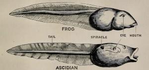 Ascidia_005