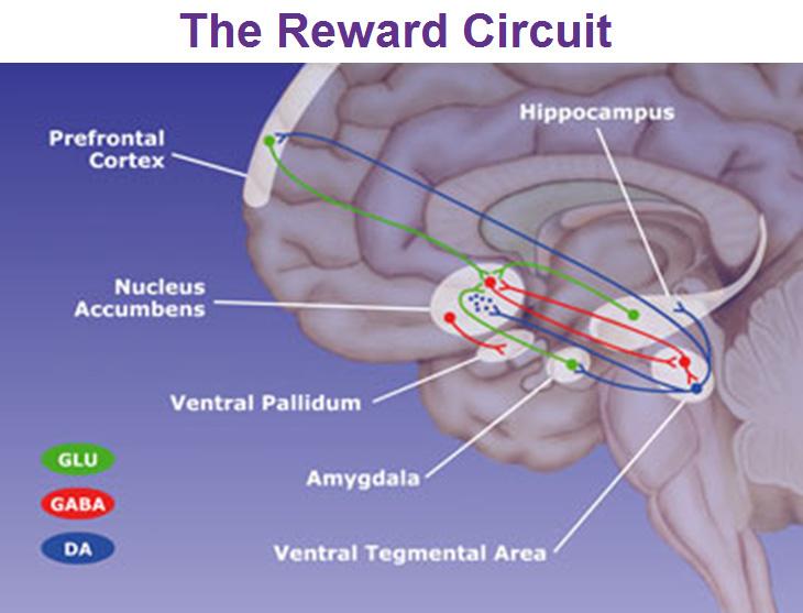 the-reward-circuit-nucleus-accumbens-ventral-pallidum-ventral-tegmental-area-and-amygdala