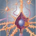260px-Neurona-red