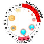 ciclo-menstrual_0-red
